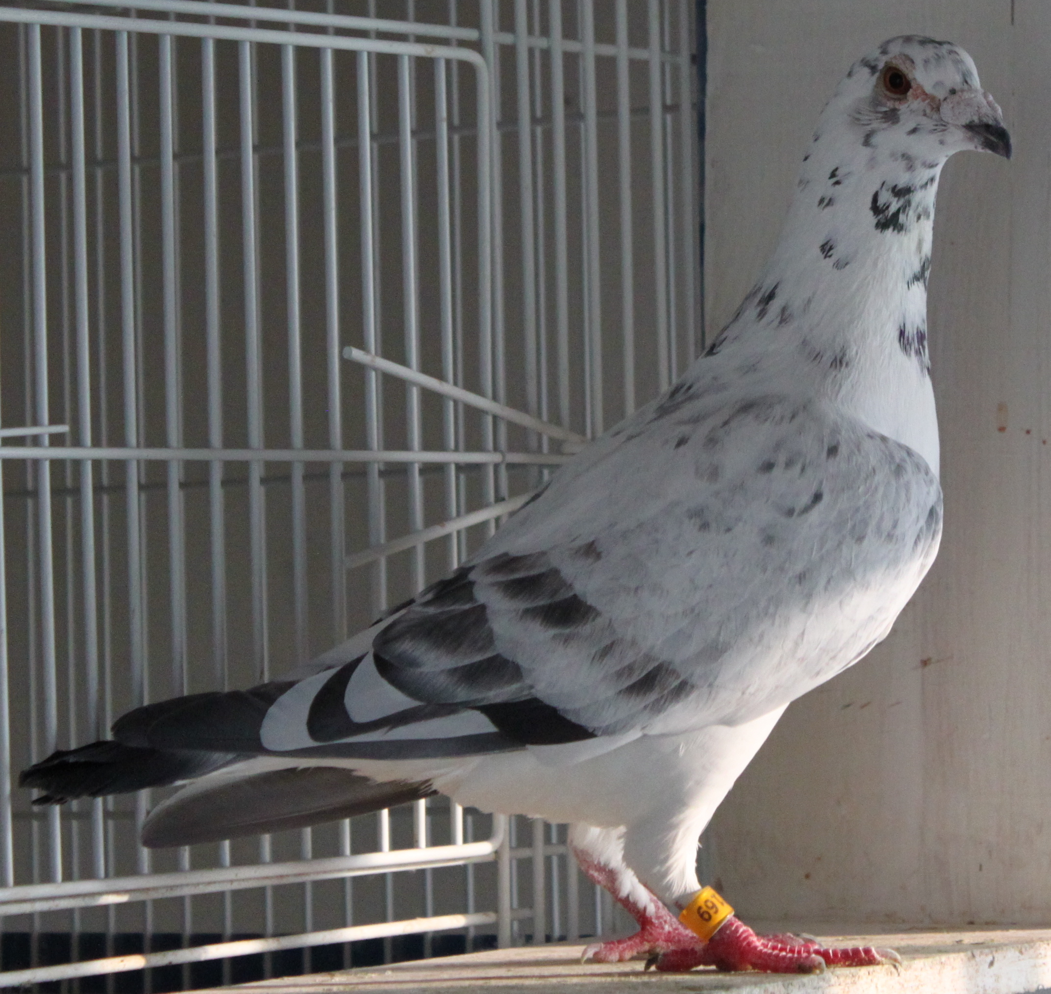 Racing pigeons breeding methods - photo#7